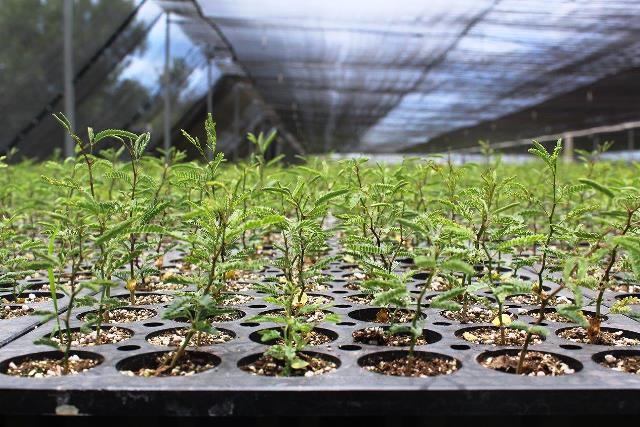 A plantar 4 1 millones de rboles conafor for Viveros forestales conafor